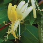 Crowning Glory - Honeysuckle