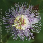 Crowning Glory - Passion Flower